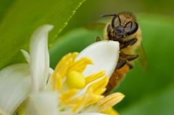 bee and lemon tree flowers