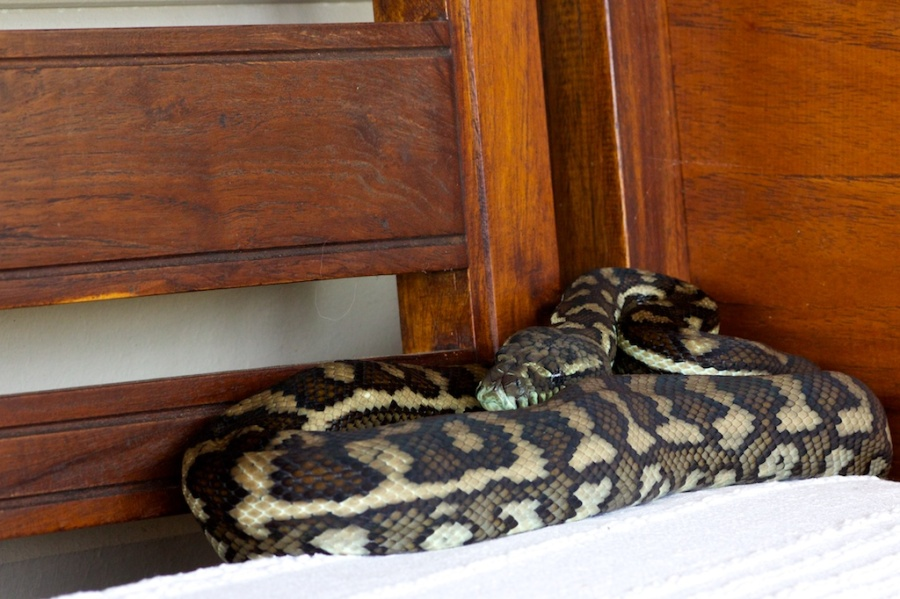 carpet python ready to pounce