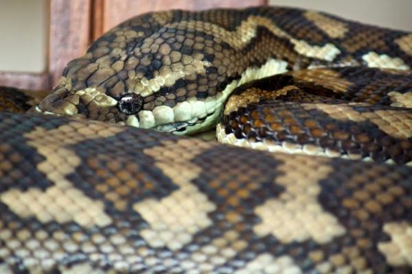 carpet python resting on daybed