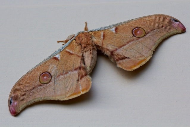 emperor gum moth on wall