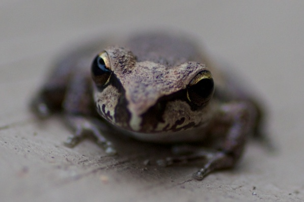 stony creek frog (littoria wilcoxii)