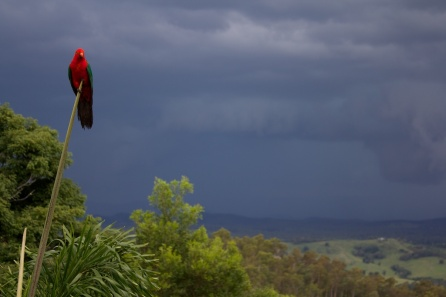king parrot against the storm clouds