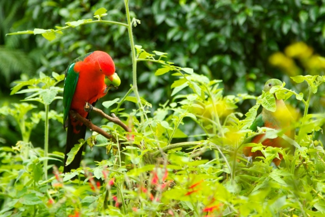king parrots eating home grown tomatoes