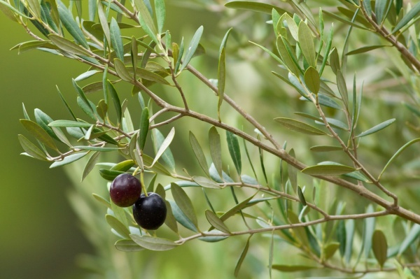 olives in the paddock