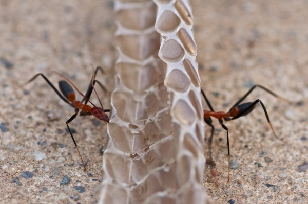spider ant teamwork