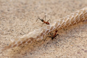 spider ants working together