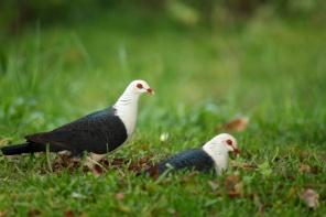 white headed pidgeons