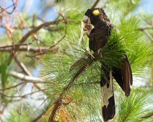 black cockatoo eating slash pine