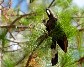 black cockatoo posing