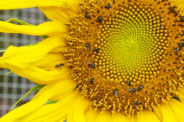 sunflower & more native bees