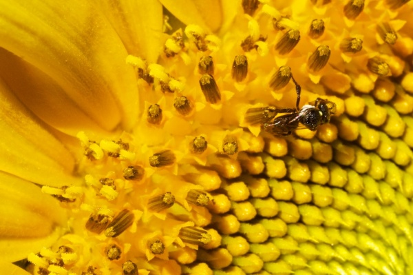 sunflower & native bee