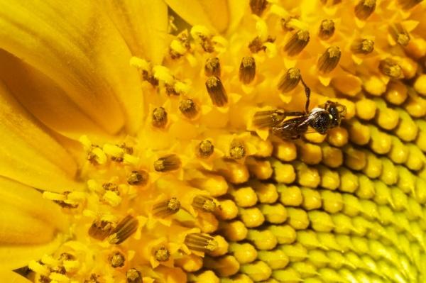 sunflower & native bee