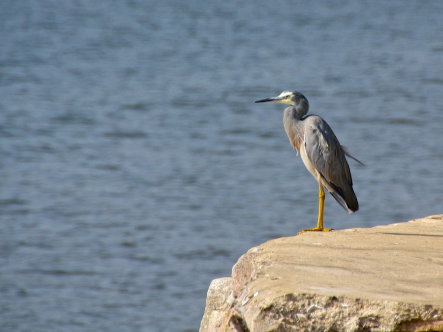 white-faced heron ( Egretta novaehollandiae) at the Georges River National Park in Sydney