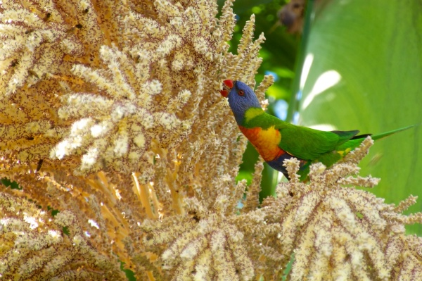 lorikeet & cuban royal