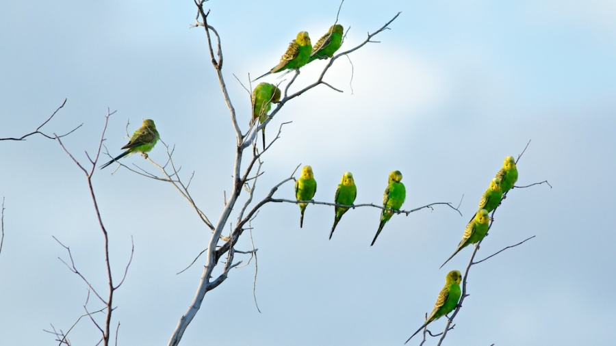 budgies in the bush