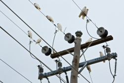 corellas on the wires Broken Hill