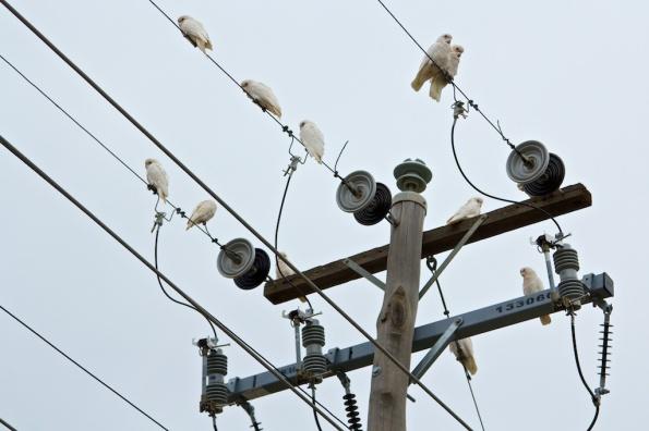 corellas on the wires Broken Hill