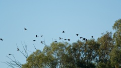 fly by ducks at Warrawong on the Darling