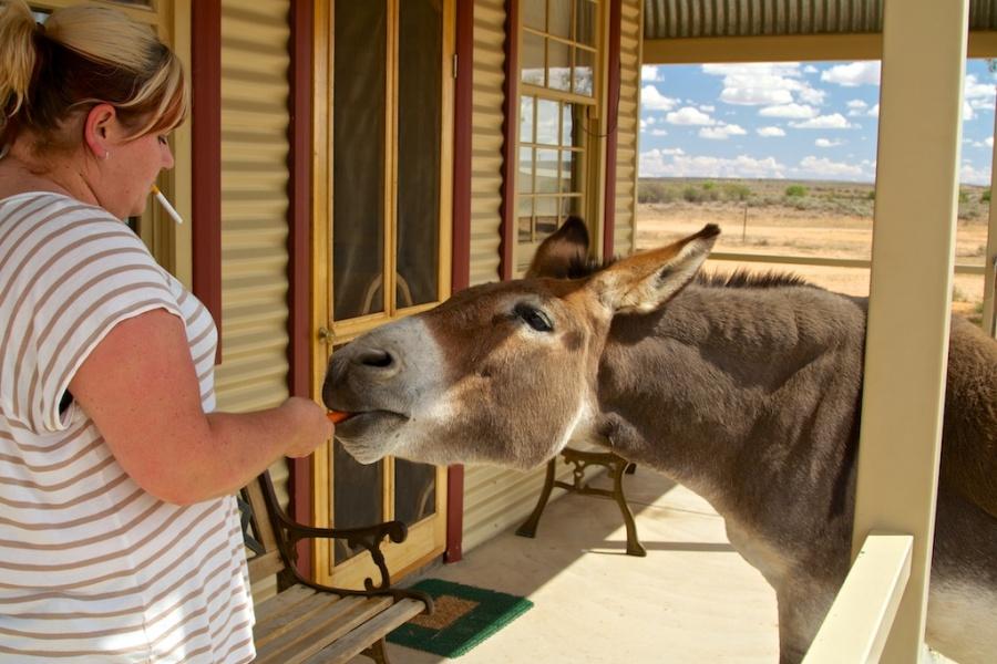 Silverton donkey & a local