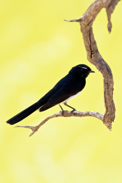 willie wagtail on the Darling at Wilcannia