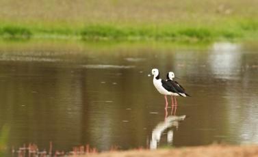 black winged stilts