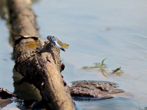 blue dragonfly at billabong