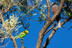 budgerigar & white browed woodswallow