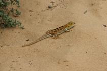 lizard at Mungo NP