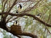 magpie lark family
