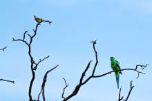 mallee ringneck & friend at Bowra