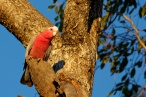 pink galah at sunset