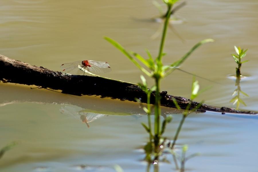 red dragonfly at billabong