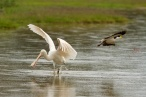spooked spoonbill & masked lapwing
