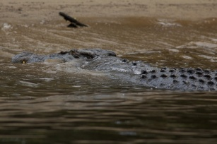 croc on the Daintree River
