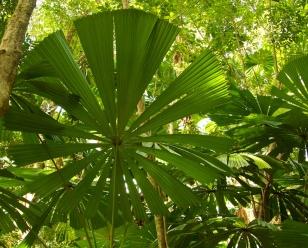 fan palm in the Daintree