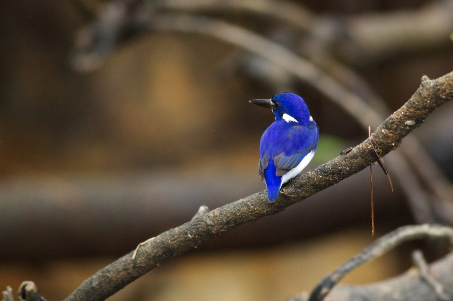 little kingfisher on the Daintree River
