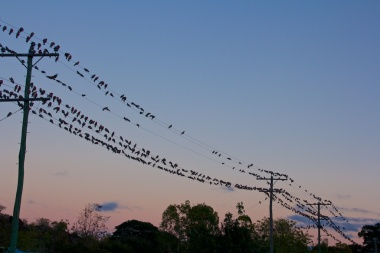 morning chorus in Chillagoe