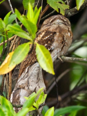 Papuan frogmouths on the Daintree River
