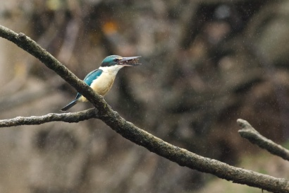 sacred kingfisher & catch of the day on the Daintree