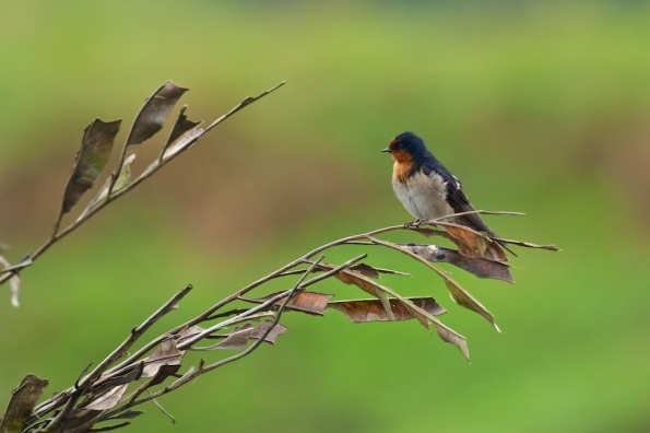 welcome swallow on the Daintree River