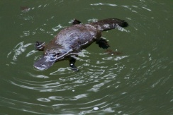 platypus at Eungella