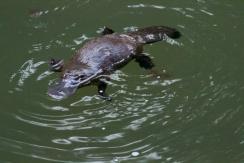 platypus at Eungella