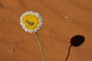 flower-with-caterpillar-in-the-simpson-desert