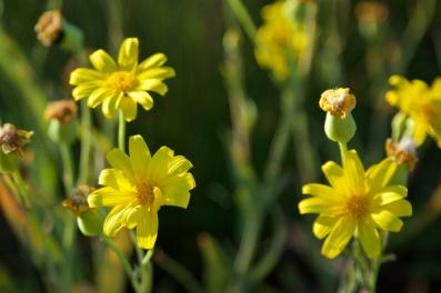 flowers-in-the-simpson-desert