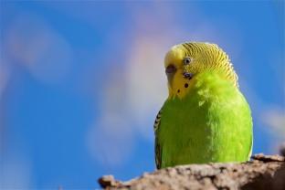 female budgerigar