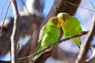 chatting up a girl budgie