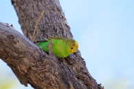female budgerigar ready to fly
